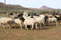 Sheep farming is an important livelihood for small-scale farmers in the Namakwa region in South Africa